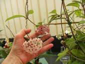 Hoya enracinés en pots ( fleurs de porcelaine) 12 Ch�teauroux (36)