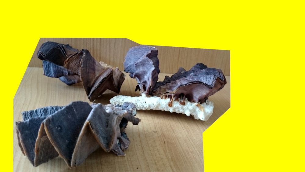 5 HUÎTRES ZIGZAG Lopha cristagalli Coquillage Crête de Coq 50 Saint-Pôtan (22)
