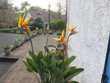 Jeunes plans de Strelizia Reginae (Oiseaux de Paradis) Jardin
