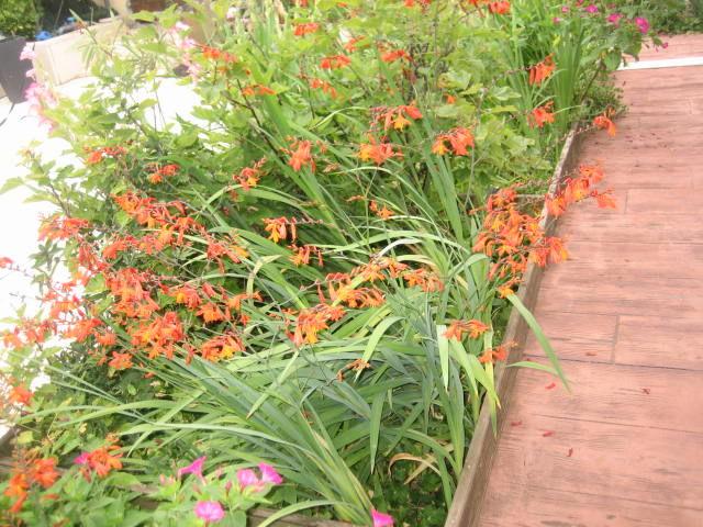 jolie fleur crocosmia 3 Saint-Orens-de-Gameville (31)
