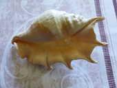 Lambi (coquillage) 12 Bordes (64)