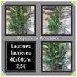 Laurier palme, laurines, laurieres : 40 à 60 cm