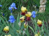 lilas ,hémérocalles ;cotoneaster et autres vivaces 2 Taradeau (83)