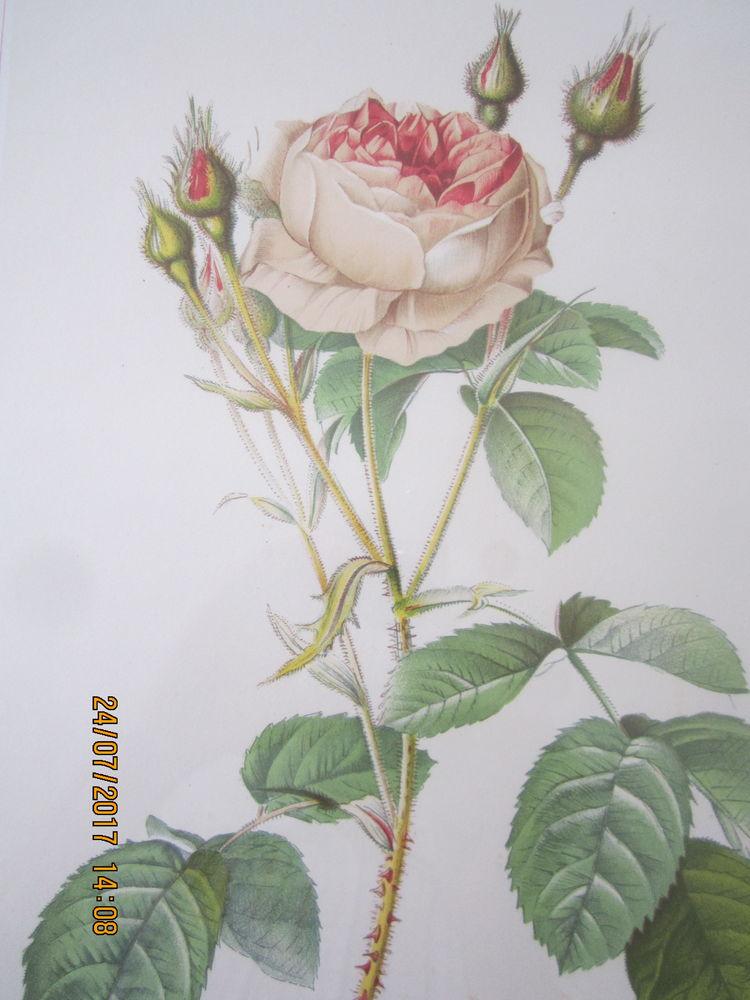 Lithographie(s) -  ROSE(s)  de  REDOUTE 35 Les Sables-d'Olonne (85)
