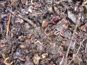 Lombrics Eisenia pour lombricompostage maison/jardin 12 Pamiers (09)