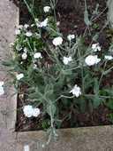 Lots de 100 graines de Lychnis coronaria - FB 1 L'Haÿ-les-Roses (94)