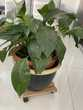 Magnifique fleur de lune en pot 30 Villeurbanne (69)