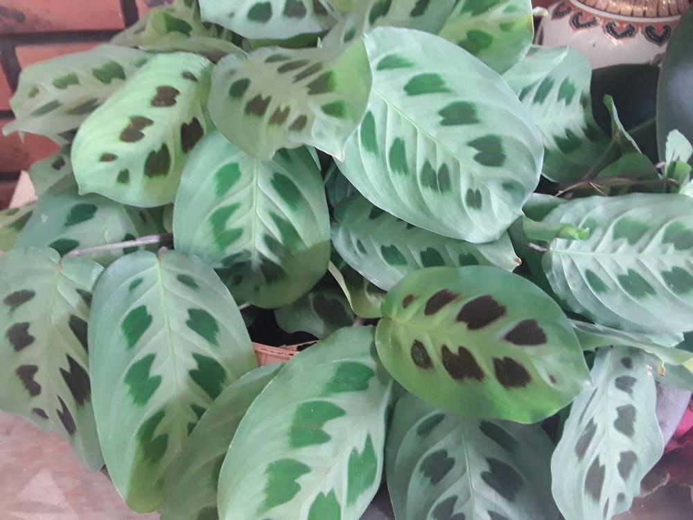 Maranta  plante  4 Mortain (50)