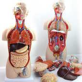 Modèle anatomique de torse 85 cm, 24-pièces ST-ATM 049 120 Montmartin-sur-Mer (50)
