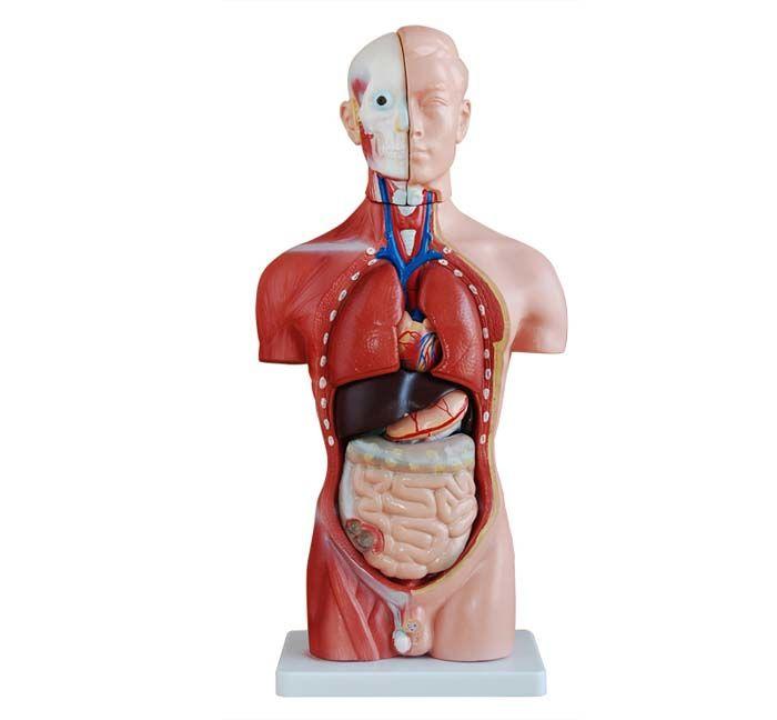 Modèle anatomique de torse 26 cm, 15-pièces ST-ATM 55