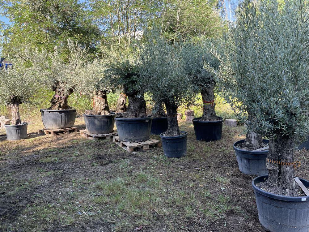 Nous vous proposons de magnifiques oliviers de 50/70 ans. 0 Villejuif (94)