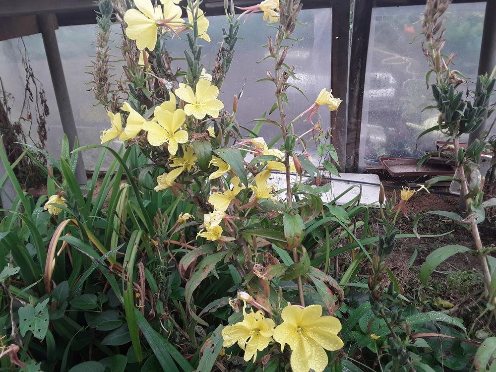 Onagre plante médicinale  phytothérapie  1 pot  2 Mortain (50)