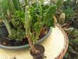 1 Opuntia  monacantha hauteur  30 cms   moins  8 degrés