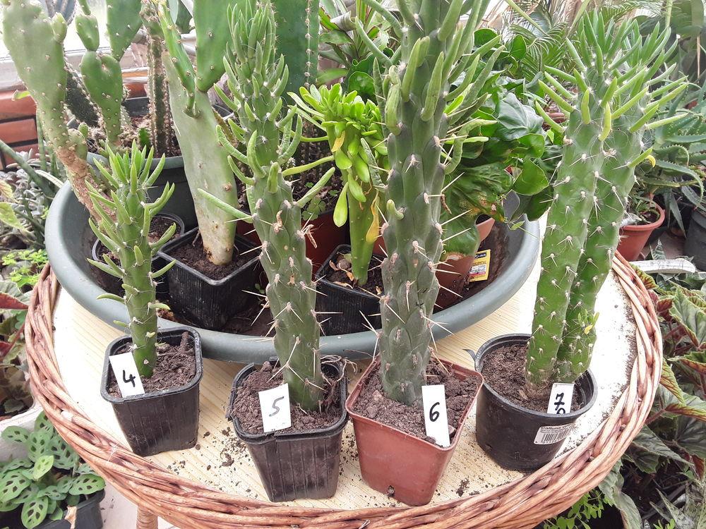 1 Opuntia subulata mini moins  5 degres hauteur  30 cms  5 Mortain (50)