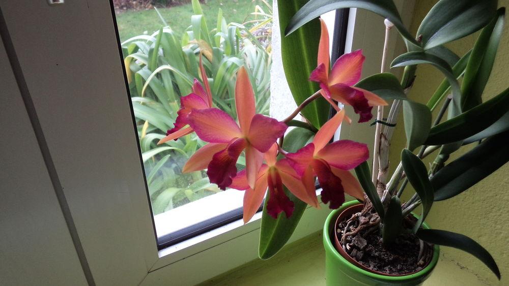 orchidée cattleya 14 Fouesnant (29)