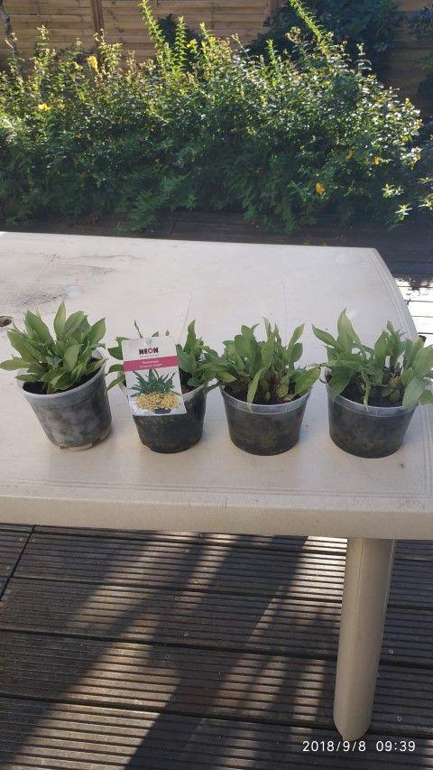 Orchidées Promenaea à fleurs jaunes 10 Cestas (33)
