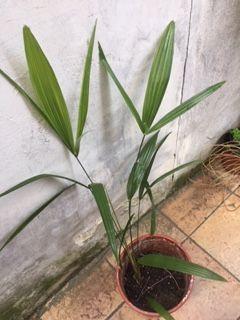 Palmier  dattier chinois très décoratifs sympas exotiques; 8 Maisons-Alfort (94)