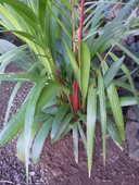 palmiers de collection 20 La Réunion (97)