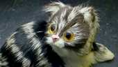 Petit chat en poli 8 Montargis (45)