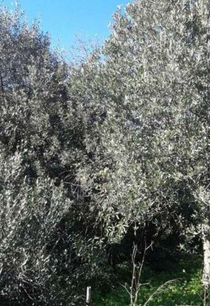 petites branches Oliviers Olea-europaea  1 La Seyne-sur-Mer (83)
