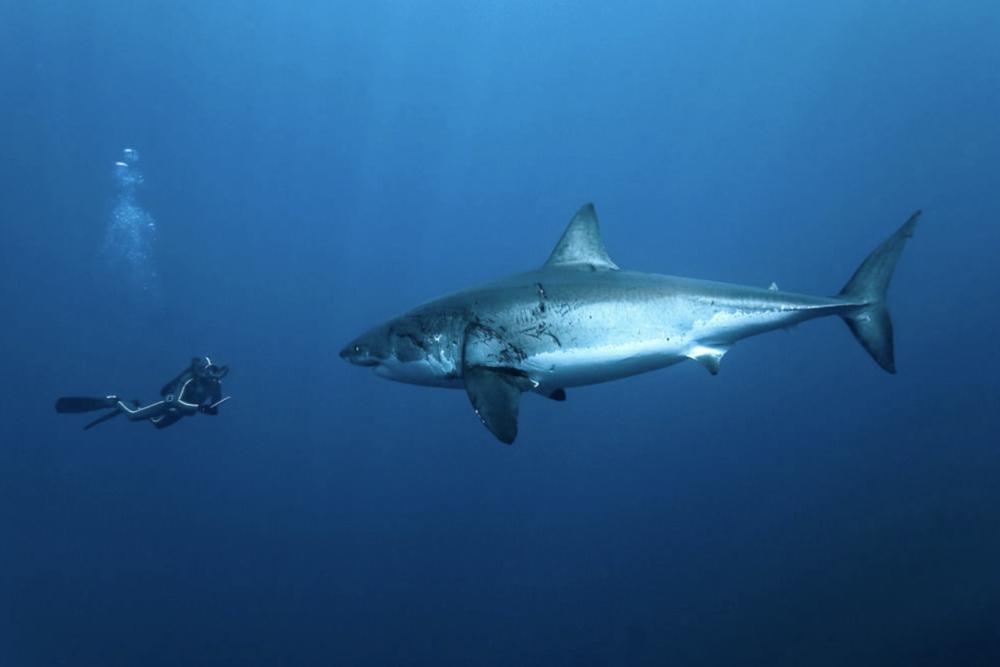 Photographie tableau requin & nageur 100x150cm- YellowKorner 650 Paris 6 (75)