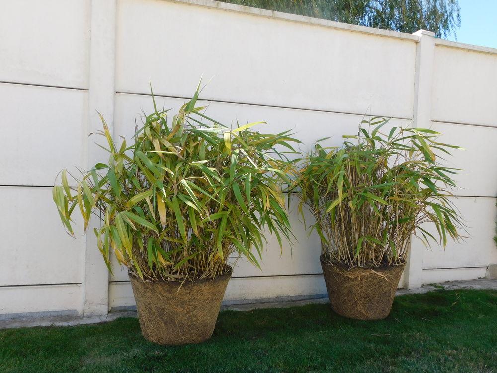 2 pieds de bambous 30 Saint-Manvieu-Norrey (14)