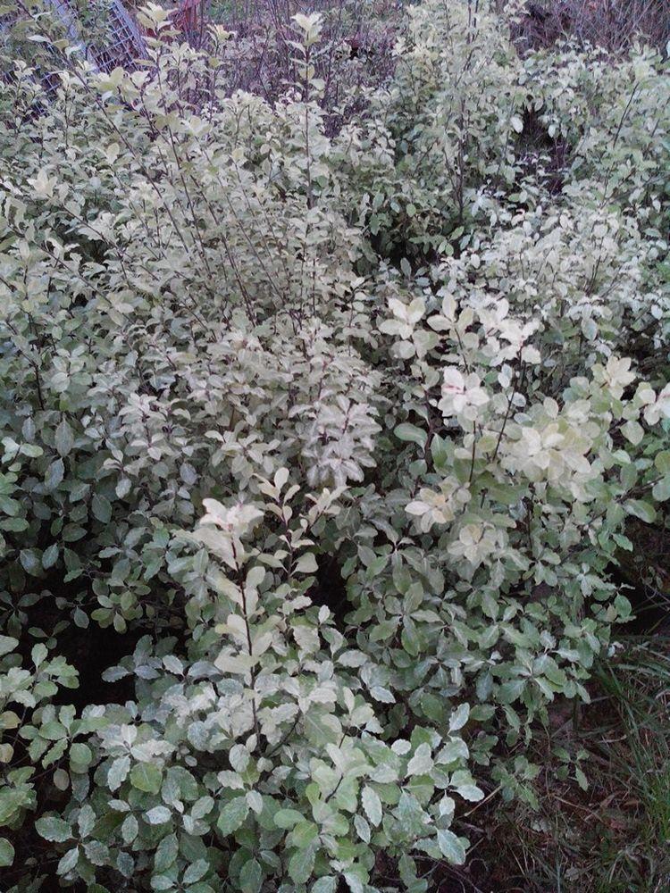 Pittosporums tenuifolium verts, panachés, pourpres 5 Sarpourenx (64)