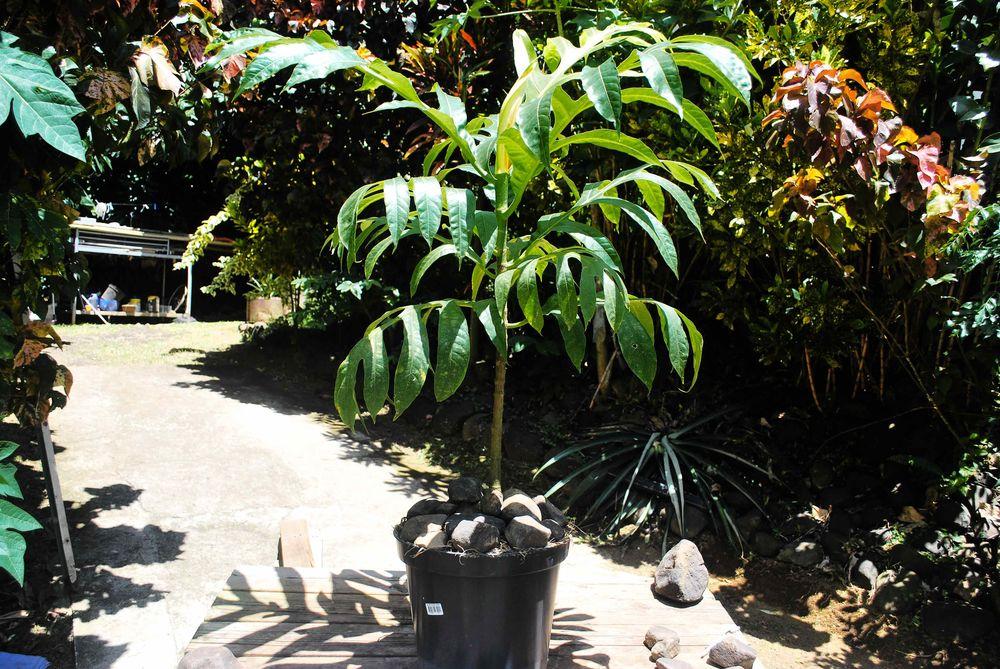 Plant arbre à pain 55 La Trinité (97)