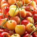 1 plant de cerisier,bigarreau napoleon 3 Dégagnac (46)