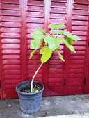 Plant de Figuier à figues blanches 28 La Seyne-sur-Mer (83)