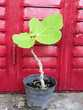 Plant de Figuier à figues noires