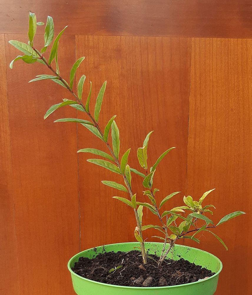 Plant de Grenadier Wonderful Bio 15 La Seyne-sur-Mer (83)