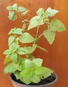 Plant de mélisse citronnelle officinale Bio  2 La Seyne-sur-Mer (83)