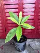 plant de Néflier du Japon (bibacier, loquat) de 30 cm env 35 La Seyne-sur-Mer (83)