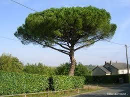 1 plant de pin parasol 3 Dégagnac (46)