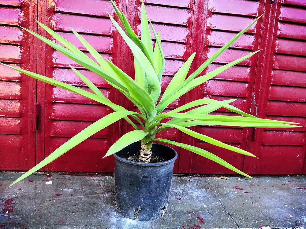 Plant de Yucca éléphantipes patte d'éléphant 40 cm  10 La Seyne-sur-Mer (83)
