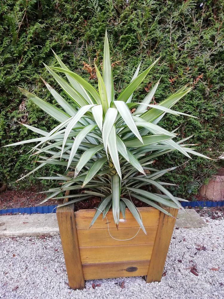Plante dans leur bac en bois  40 Coignières (78)