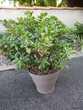 Plante Grasse Grasulla Ovata Saint-Loup-Lamairé (79)