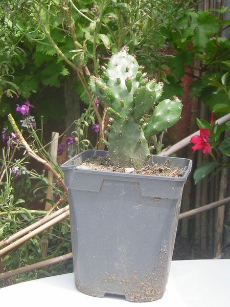 plante cactus occasion. Black Bedroom Furniture Sets. Home Design Ideas