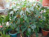 plante perroquet 50 Vertus (51)