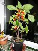 plante perroquet 8 Vertus (51)