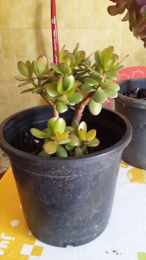 Plantes grasses, Arbre de Jade et Aéonium  5 La Ciotat (13)