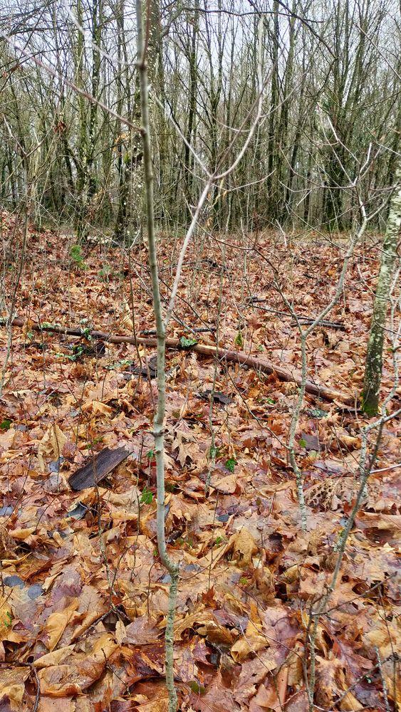 plants de chênes américain  5 Viriat (01)