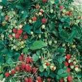 24 plants de fraises des bois 6 Dégagnac (46)
