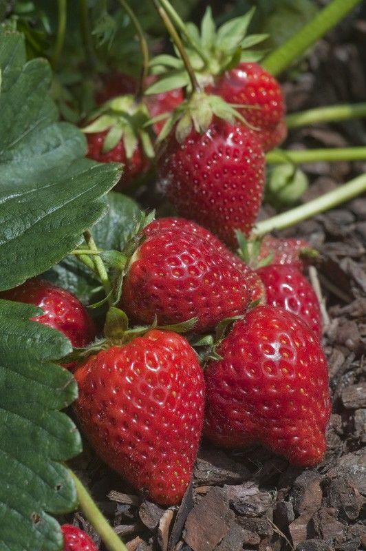 10 plants de fraisiers charlitte 4 Dégagnac (46)