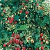 10 plants de fraisiers garriguette 3 Salviac (46)