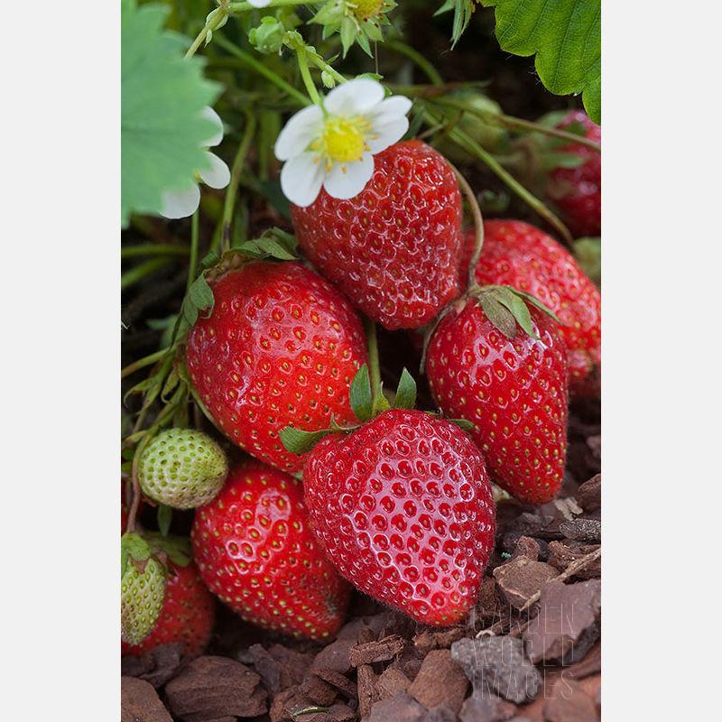 10 plants de fraisiers ostara 4 Dégagnac (46)