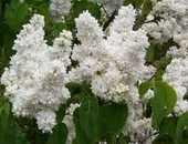 2  plants de lilas blanc double 3 Dégagnac (46)