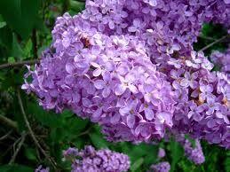 2 plants de lilas mauve simple 3 Dégagnac (46)