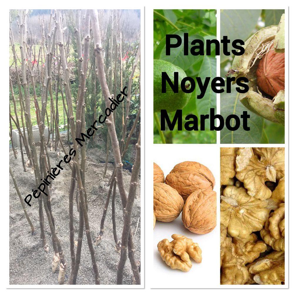 Plants Noyers Marbot de 2 ans : 1,5 à 2,00 m de haut Jardin